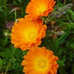 Cele mai puternice plante medicinale importante pentru sanatate