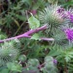 Plante medicinale pentru Acnee