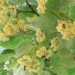 Plante medicinale -tratement naturist Pesti